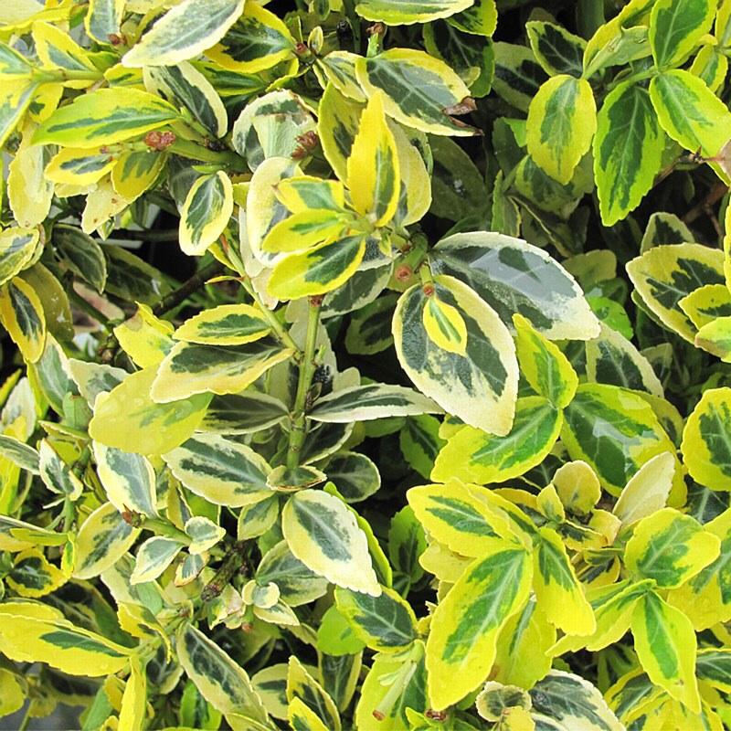 50th Golden Wedding Anniversary Flowering Plant Euonymus Emerald