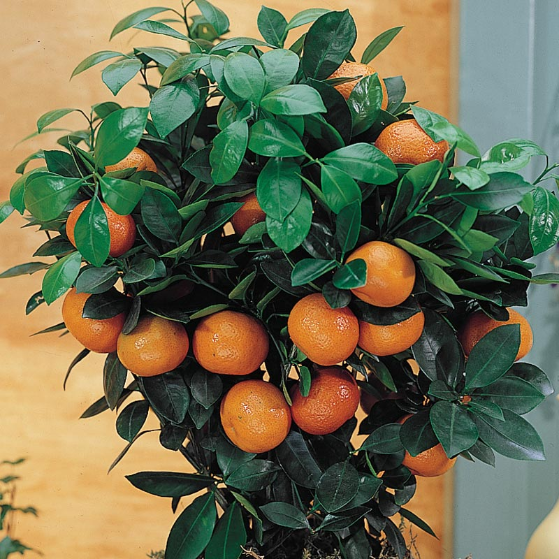 50th Golden Wedding Anniversary Plant Citrus Orange Calamondin