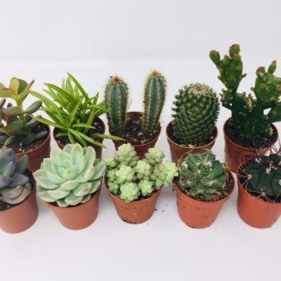 10 X Succulent Cactus Tot Plants
