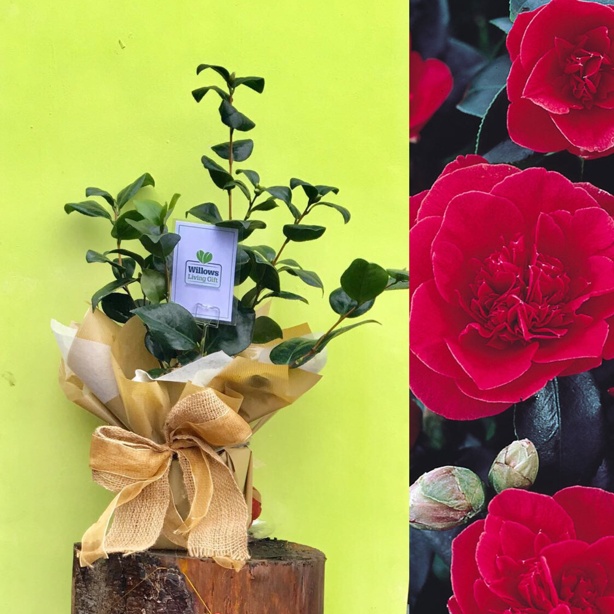 50th Golden Anniversary Plants Willows Living Gifts Sending