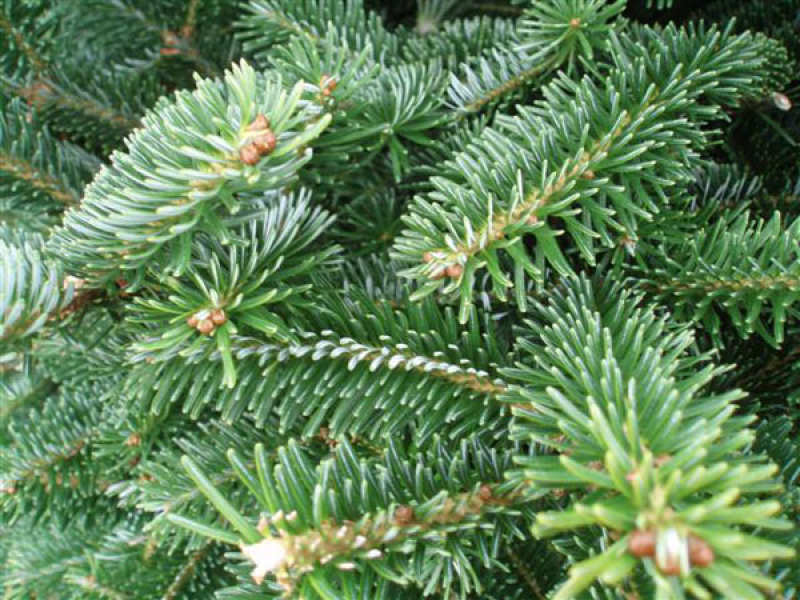 Fraser Fir Christmas Trees.Fraser Fir Christmas Tree Glasgow Only Free Delivery